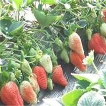 溫室草莓苗 四葉一芯草莓苗