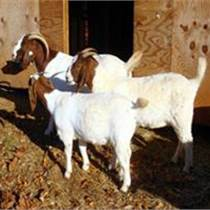 波尔山羊的价格