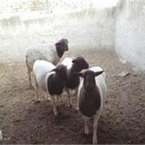 2015年杜泊羊的价格