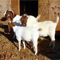 养殖波尔山羊的利润