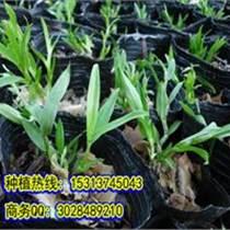 石斛盆栽方法