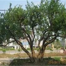 出售石榴樹,批發石榴樹