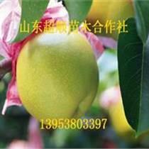 紫巴梨树苗