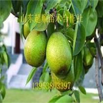 香水梨树苗