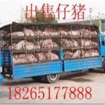 安徽仔猪苗猪 今日仔猪价格