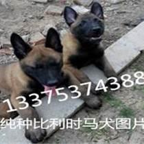马犬便宜黑马犬幼崽哪里有卖的