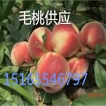 臨沂毛桃供應/毛桃產地批發基地