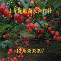 黃蜜櫻桃小苗