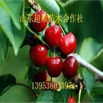 銀珠櫻桃種苗