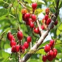 东塘樱桃苗