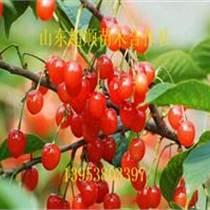 早紅寶石櫻桃小苗