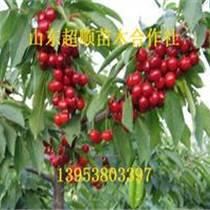 紅蜜櫻桃種苗