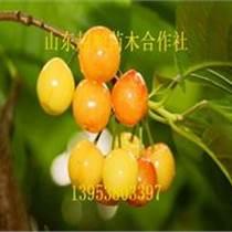 車厘子櫻桃種苗