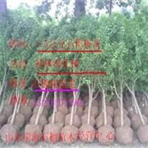 出售石榴樹苗&供應石榴樹
