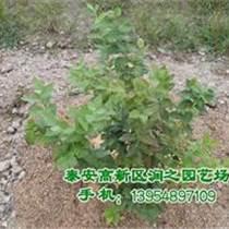山東藍莓苗價格