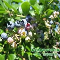 藍莓苗批發