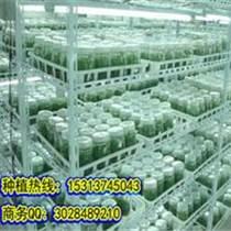 神农8号石斛种植种苗培育