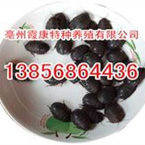 菏澤土元養殖技術