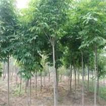 米劲10公分七叶树价格 七叶树价格图片供应