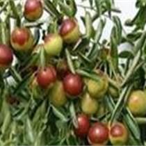 山西棗樹苗價格+批發棗樹苗價格