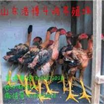 哪里有卖越南斗鸡苗的