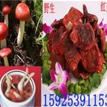 野生红菇干货 红菇价格 红菇作用