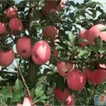 山東早熟蘋果種植批發基地