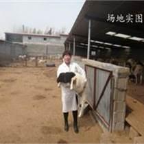新疆秋季杜泊羊管理,杜泊羊价格