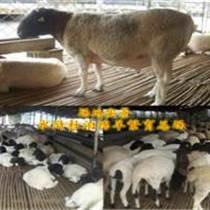宁夏秋季杜泊羊管理,杜泊羊出售