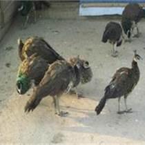养殖孔雀赚钱吗