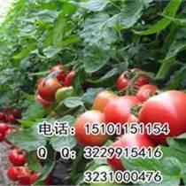 荷蘭番茄品種|番茄種子價格