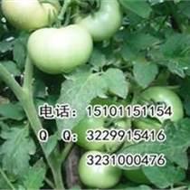 大番茄种子品种|进口番茄种子