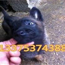 黑马犬纯种的一只多少钱