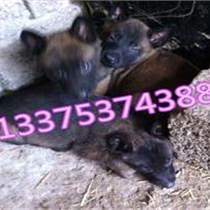 比利时马犬纯种的黑的多少钱一只