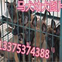 河北哪里有純種馬犬養殖場