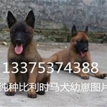 純種馬犬甘肅永昌有賣的嗎