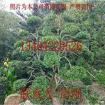 造型黄杨批发、小叶黄杨树盆景