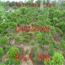 最大造型黃楊樹基地、蘇州苗圃