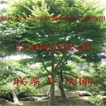 蘇州雞爪槭價格、精品雞爪槭