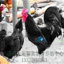 山東蘆花雞養殖基地