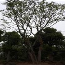 供应河南精品朴树
