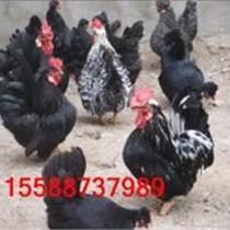 山東觀賞雞養殖