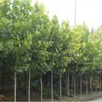 河北衡水3-6公分法桐出售多少钱