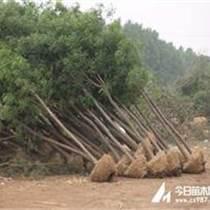 天津12公分國槐最低價格多少錢