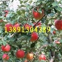 陜西花冠蘋果基地中秋節大量上市