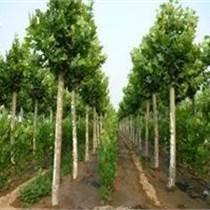 湖南永州20公分法桐供应多少钱