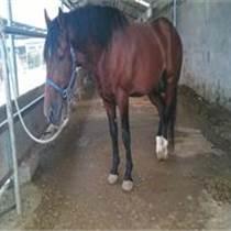 北京哪里有養馬場出售乘騎馬