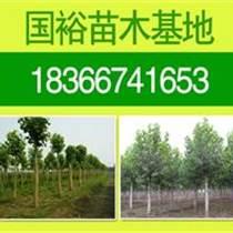 出售法桐樹14公分法桐