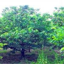 供應6-20公分歐洲甜櫻桃樹