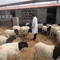 龙江县杜泊羊价格